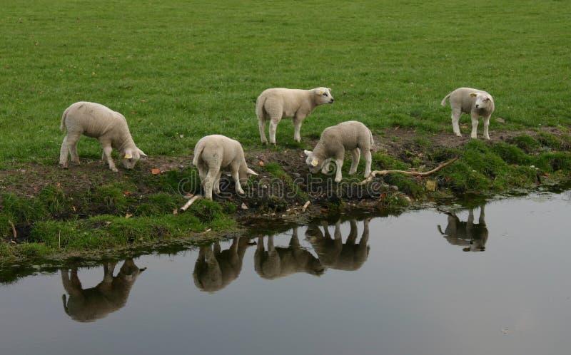 Cute lambs stock photography