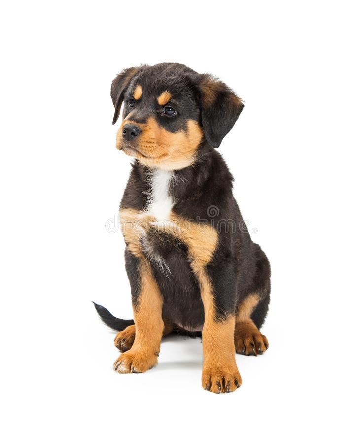Cute Large Bred Puppy With Angry Expression. Cute young Rottweiler and large breed mix puppy dog sitting on white with mad expression stock photos