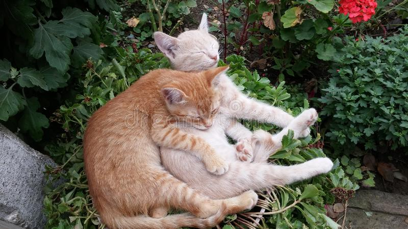 Cute lazy sleeping cats. Kittens sleeping happily in funny position in the garden. Cute lazy cats falling asleep. Hugged kittens falling asleep. Cat`s sleeping royalty free stock image