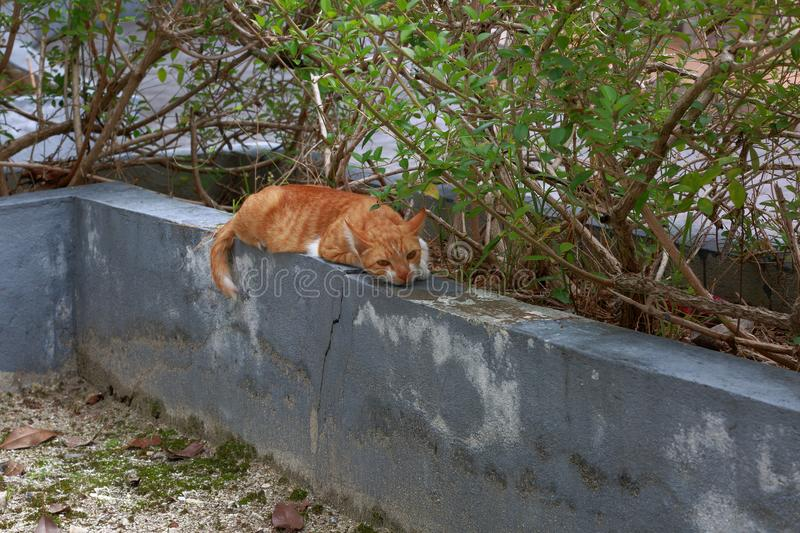 Cute lazy red cat laying on grey concrete wall on warm summer day. Gorgeous nature background. Maldives, Hulhumale town stock photo
