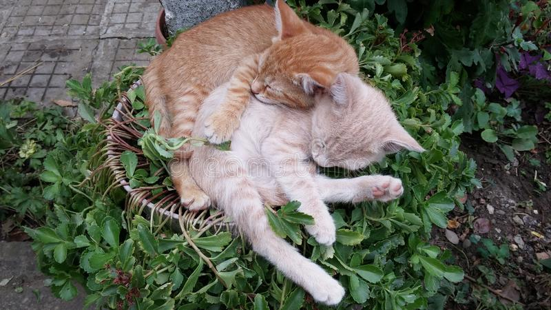 Cute lazy sleeping cats. Kittens sleeping happily in funny position in the garden. Cute lazy cats falling asleep. Hugged kittens falling asleep. Cat`s sleeping royalty free stock photo