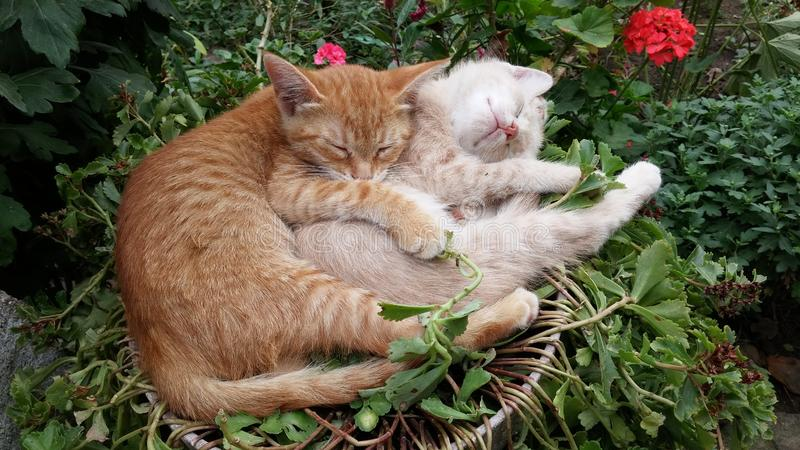 Cute lazy sleeping cats. Kittens sleeping happily in funny position in the garden. Cute lazy cats falling asleep. Hugged kittens falling asleep. Cat`s sleeping stock image