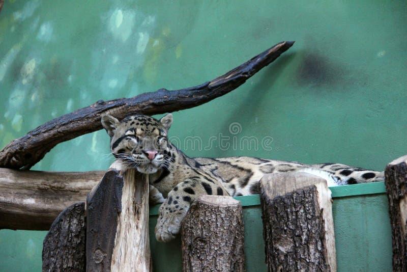 Cute leopard sleeps stock image
