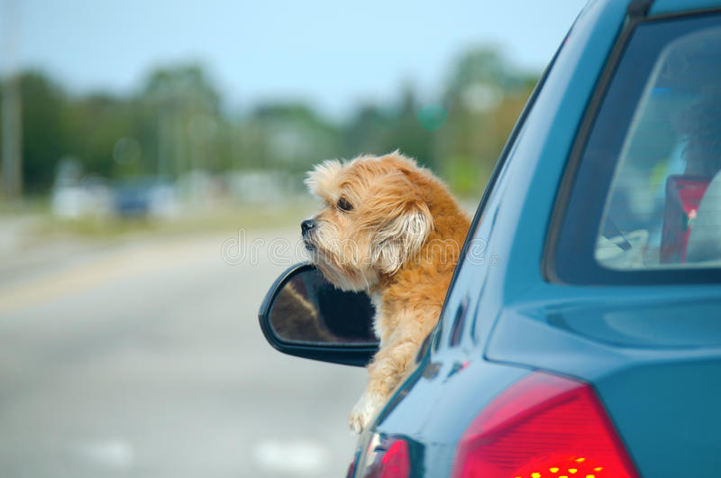 Cute lhasa apso enjoying a car ride. A well-trimmed lhasa apso hanging our of a car window enjoying a ride a a sunny afternoon stock photos