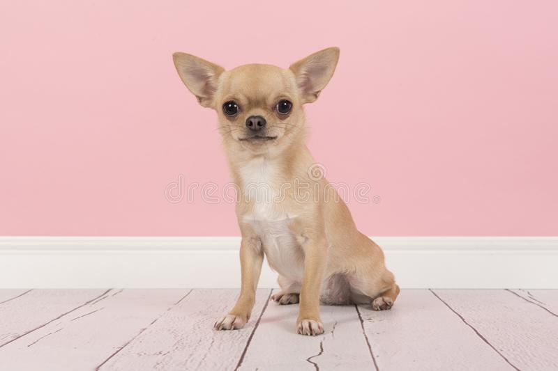 Cute Light Brown Chihuahua Dog Sitting In A Pink Living Room Set ...