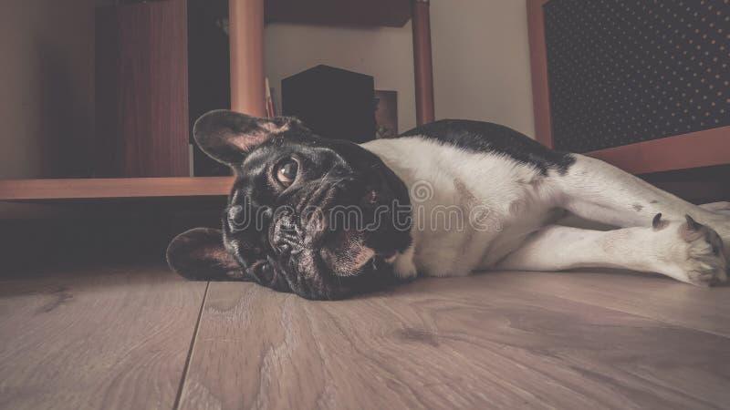 Cute lil bulldog stock images