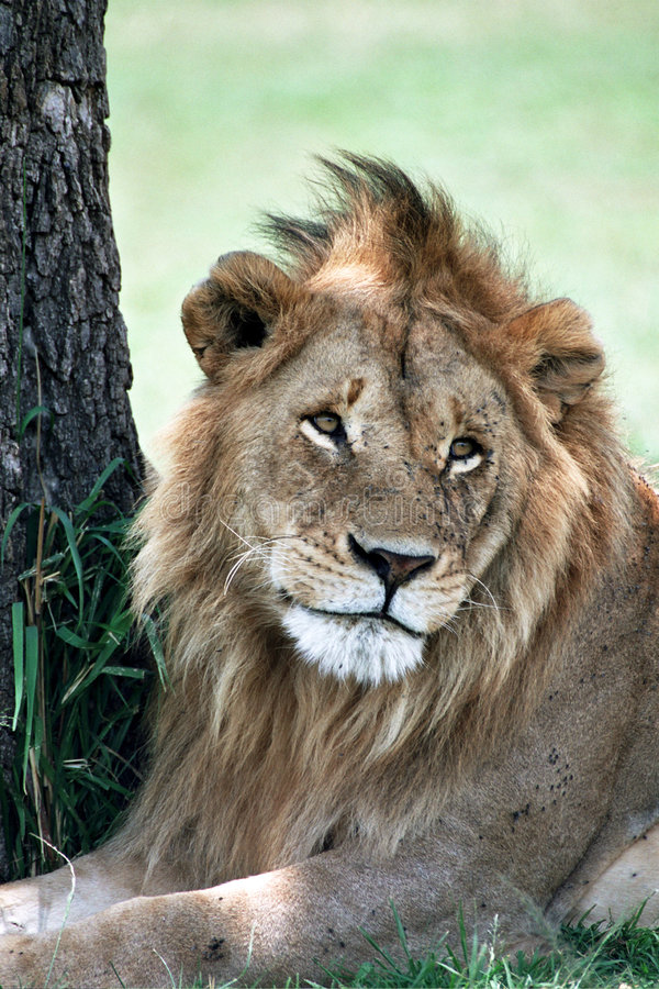 Cute Lion. Portrait of a cute Lion, Serengeti Tanzania stock images