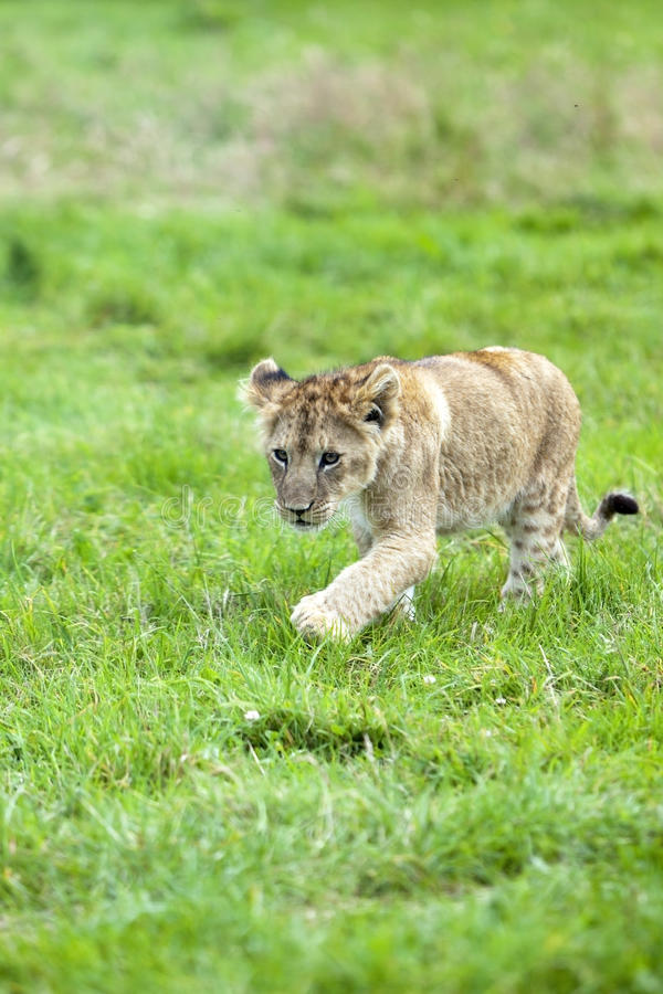 Download Cute Lion cub stock photo. Image of outdoor, lion, endangered - 26455794