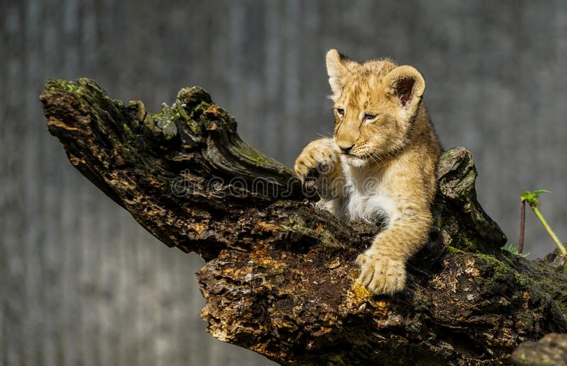 Cute lion cub. Cute little lion cub sitting on an old tree stump and watching, Cute lion stock images
