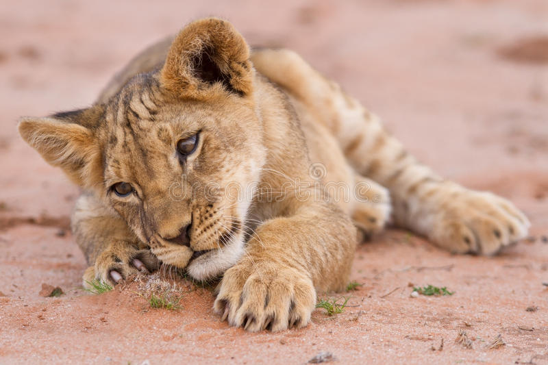Cute lion cub playing on sand in the Kalahari. Closeup royalty free stock images