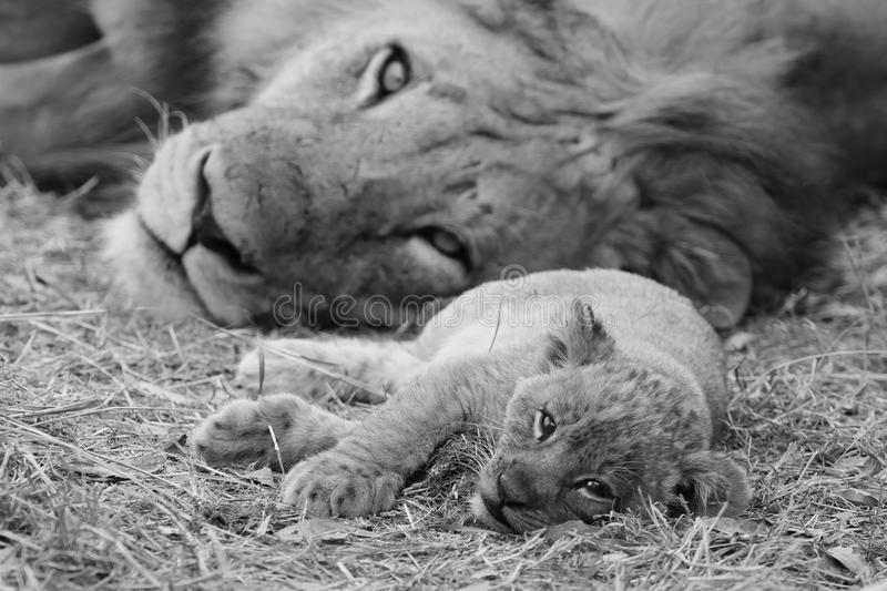 Cute Lion Cub resting with father. Black and white image of a cute lion cub resting the the grass with it's father royalty free stock photos