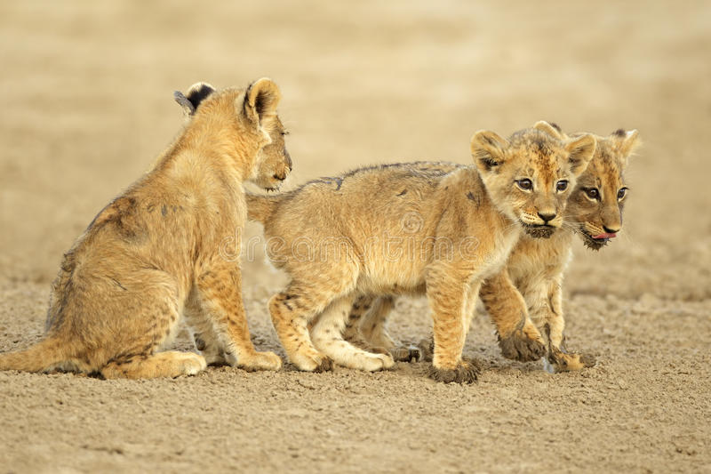 Download Cute Lion Cubs Stock Image - Image: 22923211