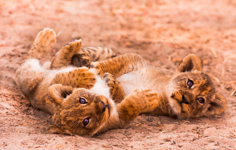 Cute Lion Cubs stock images