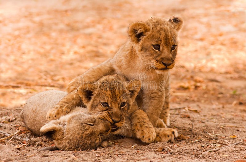 Cute Lion Cubs. Playing in the Sand royalty free stock image