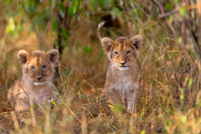 Cute Lion cubs. Of Rongai Pride in the grass of Masai Mara, Kenya royalty free stock photography