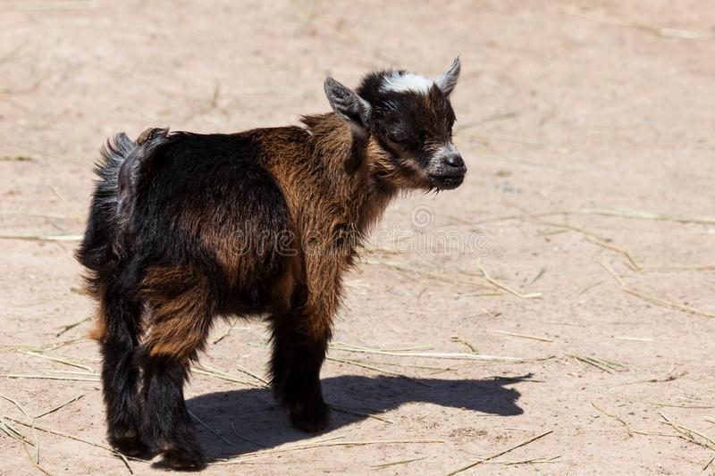 Cute Little Baby Goat stock image