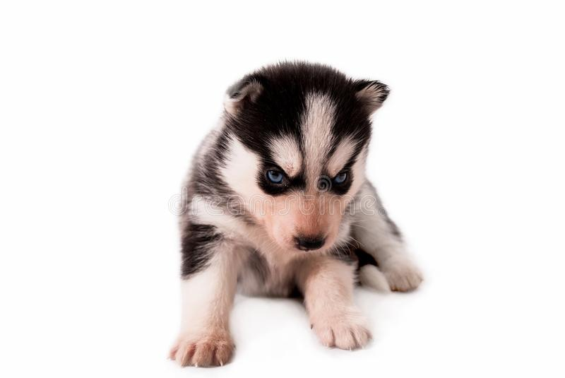 Cute little baby puppy Siberian Husky posing on a white background stock photography