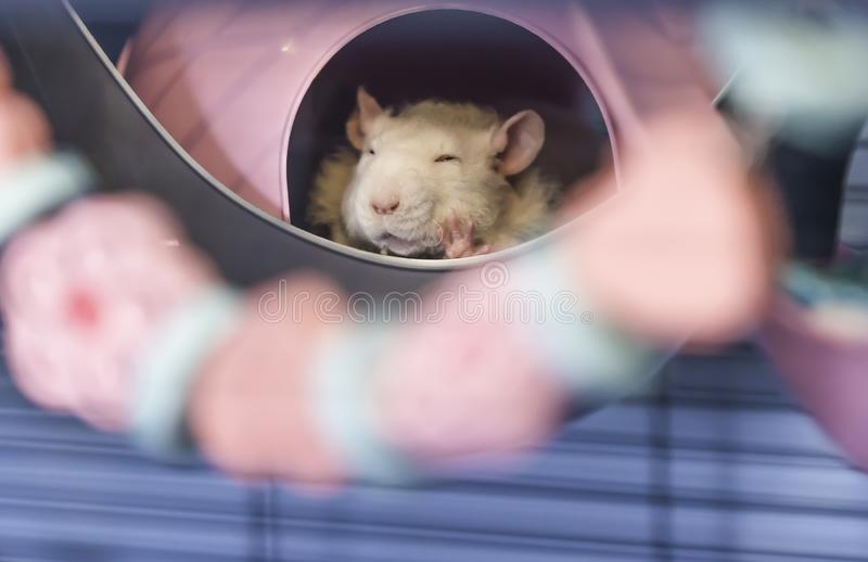 Cute little baby rat sleeping in his bed royalty free stock photo