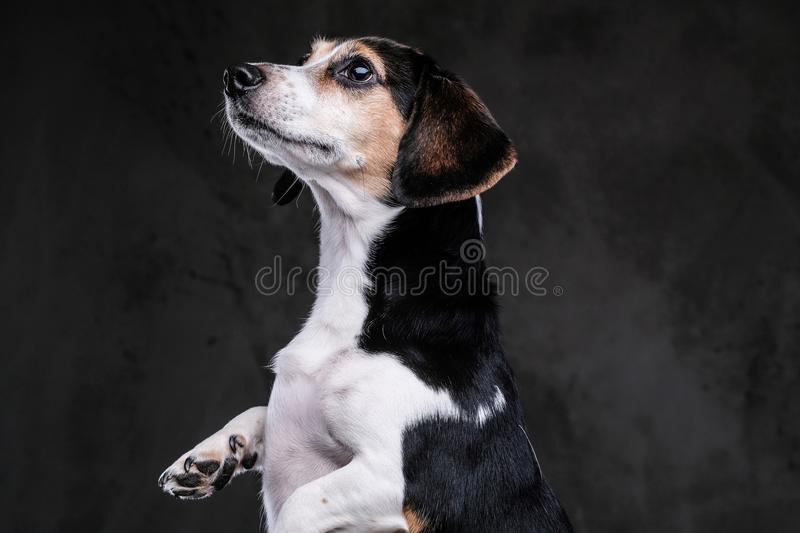 Cute little beagle dog stands on two legs asking for food on a dark background. stock photos