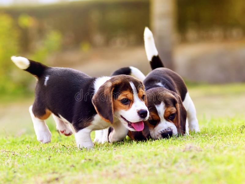 Cute little Beagles stock images