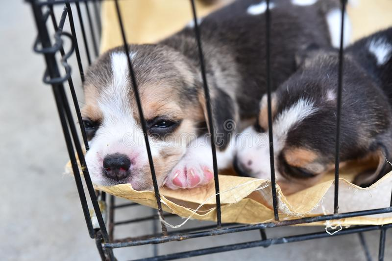 Beagles for sell. Cute little Beagles for sell in dog cage royalty free stock photos