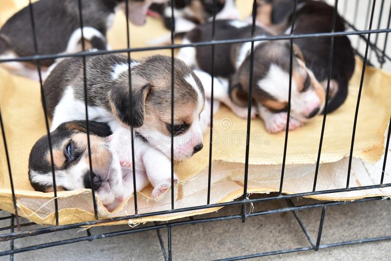 Beagles for sell. Cute little Beagles for sell in dog cage stock photo