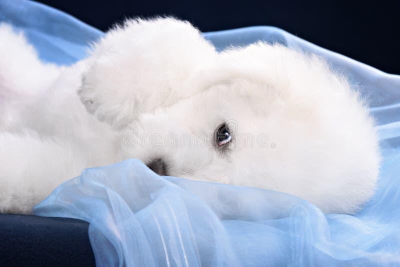 Cute little Bichon puppy royalty free stock photos