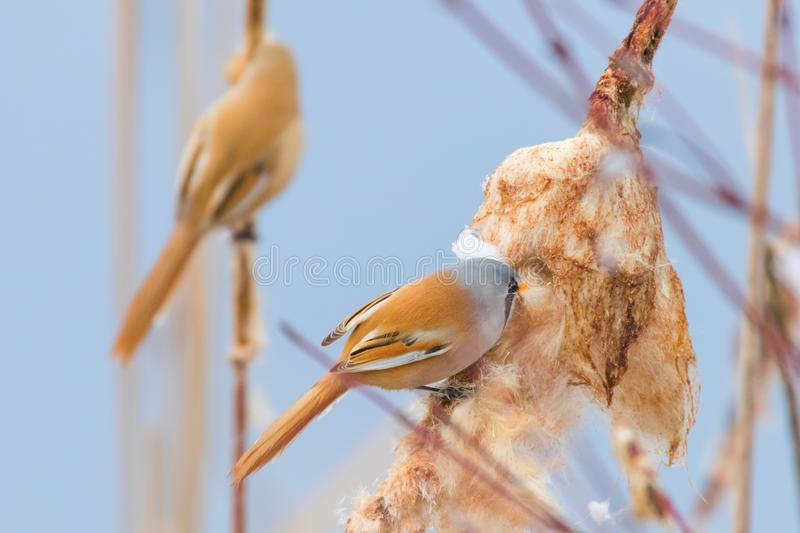Cute little birds, Bearded tit, Bearded reedling Pair panurus biarmicus. Wildlife stock image