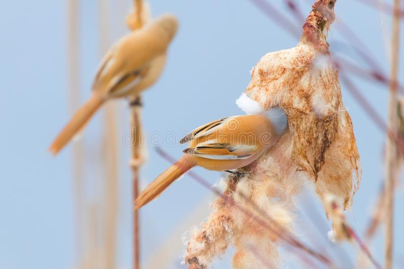 Cute little birds, Bearded tit, Bearded reedling Pair panurus biarmicus. Wildlife royalty free stock image