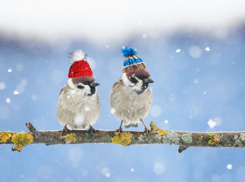 Cute little birds in funny knit hats in the winter sitting o. Two cute little birds in funny knit hats in the winter sitting on a branch in the garden in the royalty free stock photo