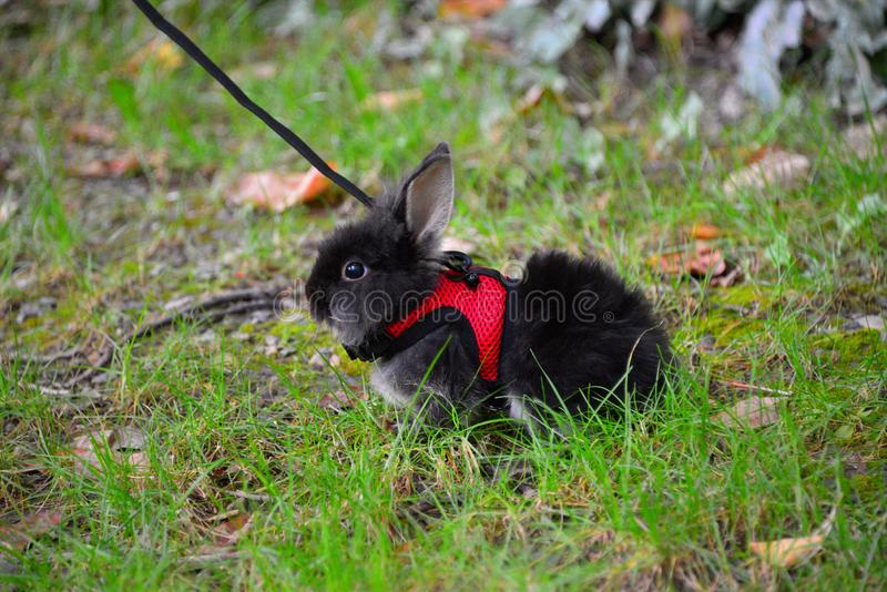 Cute little black bunny in green grass in the park stock image