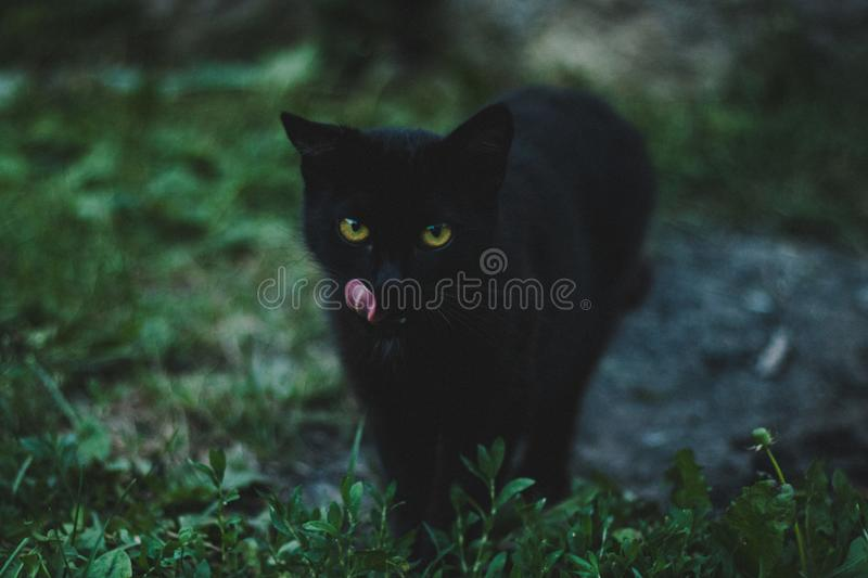 Cute little black cat with beautiful eyes walking on grass royalty free stock photography