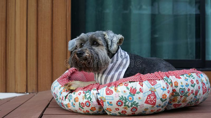 Cute little black color mixed breed dog wearing bandana lying down in dog pouf on the timber terrace. Outdoor royalty free stock images