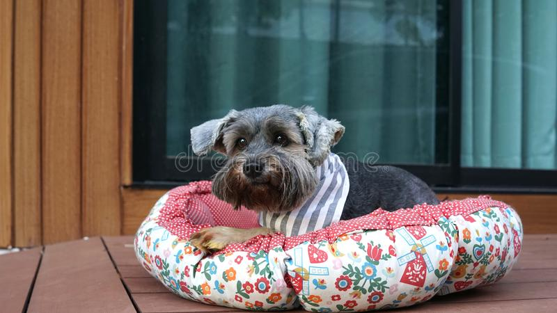 Cute little black color mixed breed dog wearing bandana lying down in dog pouf on the timber terrace. Outdoor stock image