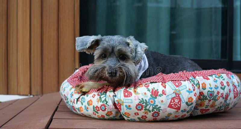 Cute little black color mixed breed dog wearing bandana lying down in dog pouf on the timber terrace. Outdoor stock images