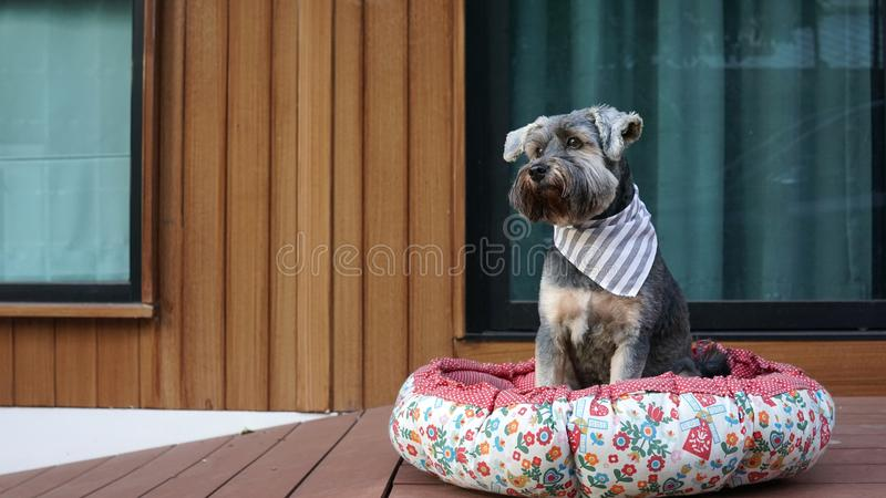 Cute little black color mixed breed dog wearing bandana lying down in dog pouf on the timber terrace. Outdoor stock photos