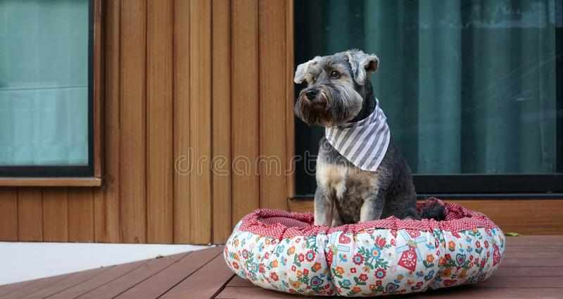 Cute little black color mixed breed dog wearing bandana lying down in dog pouf on the timber terrace. Outdoor royalty free stock photo