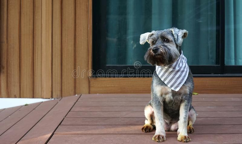 Cute little black color mixed breed dog wearing bandana sitting on the timber terrace. Outdoor stock photo