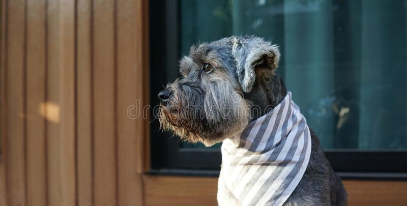 Cute little black color mixed breed dog wearing bandana sitting on the timber terrace. Outdoor royalty free stock photography