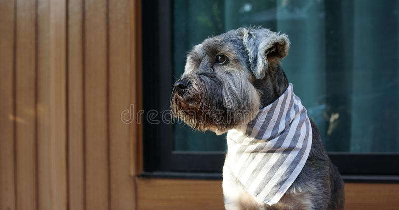Cute little black color mixed breed dog wearing bandana sitting on the timber terrace. Outdoor royalty free stock images