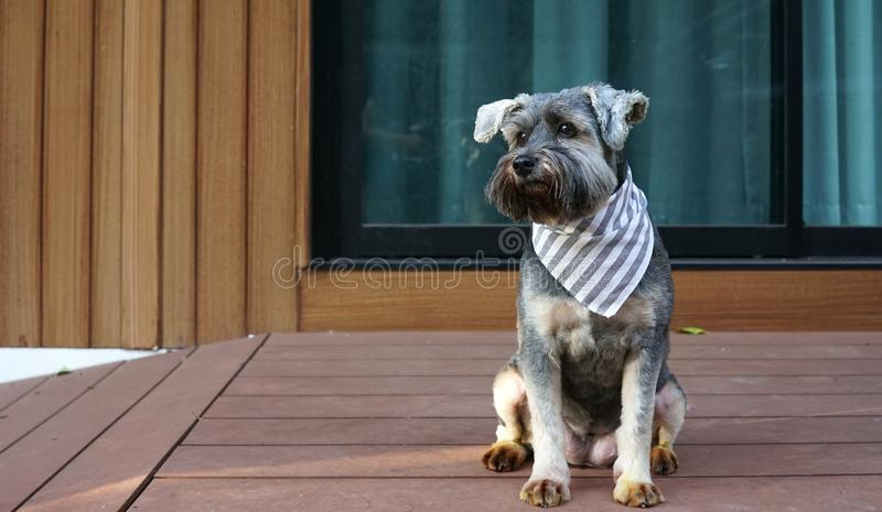 Cute little black color mixed breed dog wearing bandana sitting on the timber terrace. Outdoor stock photos