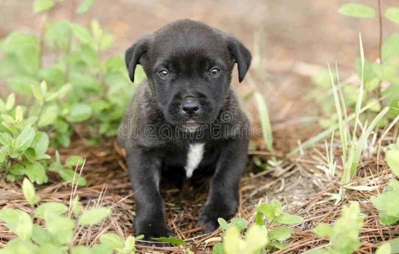 Cute little black puppy, pet rescue adoption photography. Small black pup with white chest sitting in honeysuckle vines. Female 6 weeks old mixed breed dog royalty free stock images