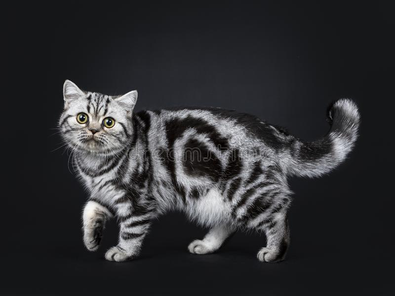 Cute little black silver blotched British Shorthair cat kitten, Isolated on black background. stock images