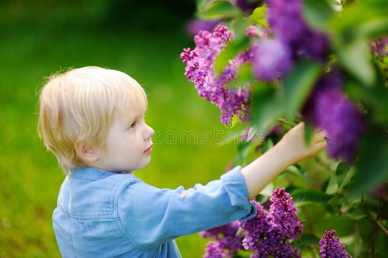 Cute little blonde hair boy enjoy blooming lilac in the domestic garden in warm day stock image