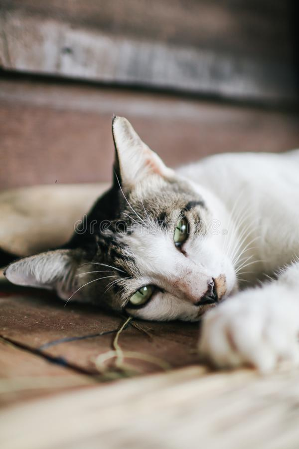 The cute little brown and white cat sleeping on on the wooden floor lying down and resting. The cute little brown and white cat sleeping on on the wooden floor royalty free stock image