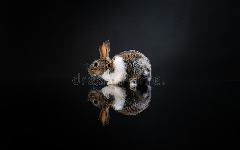Cute little bunny rabbit on dark black background. Small white and gray rabbit isolated. Wallpaper. Easter symbol. Beautiful lovel stock images