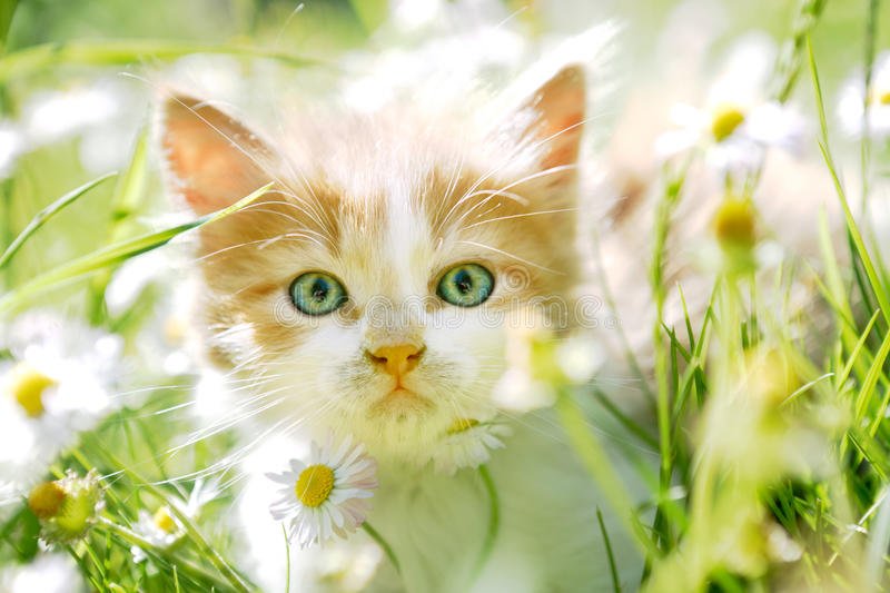 Cute little cat with green eyes in green grass. Cute little cat with beautiful green eyes in green spring grass, back lit, looking at the camera royalty free stock photos