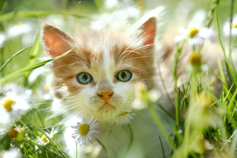 Cute little cat in green grass. Cute little cat with beautiful eyes in green spring grass, back lit, looking at the camera stock images