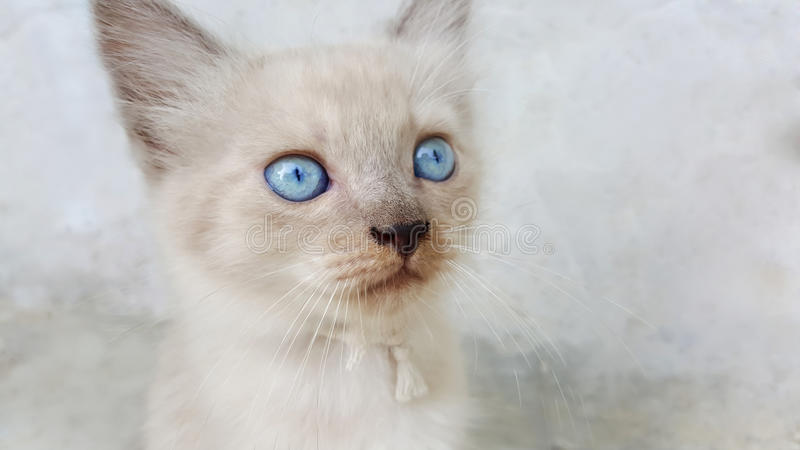Cute little cat kitten with blue eyes royalty free stock photos