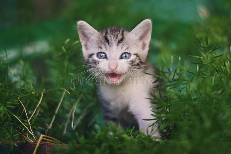 Cute little cat meowing. And smiling stock photo